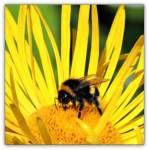 Fotos von fotos von Bienen und Hummeln zu Besuch