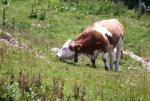 Eine clevere Kuh geht weiter fürs frische Gras
