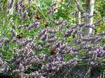 Auch Lavendel zieht Schmetterlinge an.