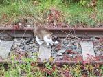 Katze auf einer stillgelegten Bahnstrecke