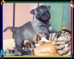 Cairn-Baby 5 Wochen