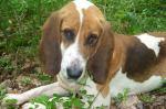 Bloodhound (Großer Laufhund)