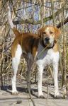Foxhound (American)