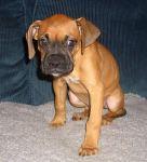 Boxerwelpe, 10 Wochen alt