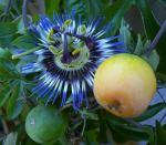 Blüte und Frucht einer Passionsblume