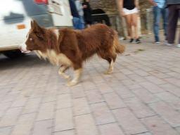 Aufpass-Hund am Markt in Sineu